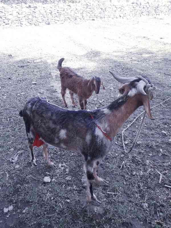 Goat with a baby...